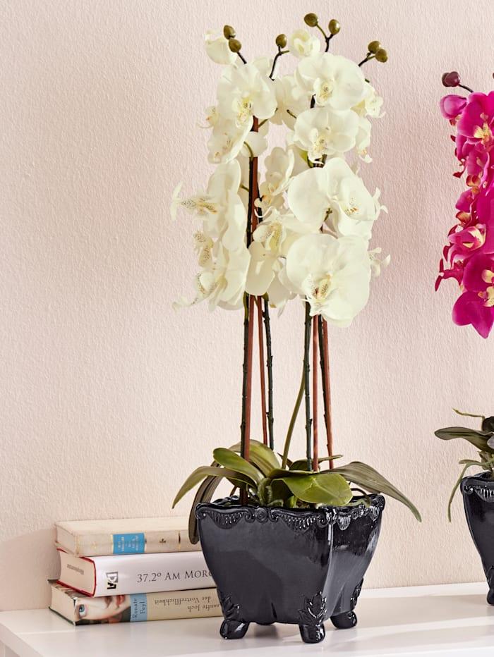 Phalaenopsis wit