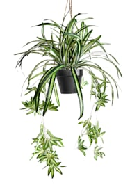 Wasserlilie im Hängetopf