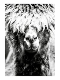 Bild, Lama