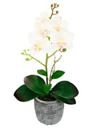 Orkidé i kruka, crèmefärgad