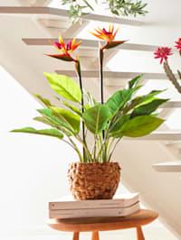 Strelizienpflanze