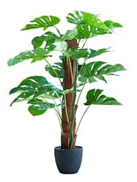 Splitphilopflanze