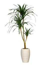 Drachenbaum in Keramiktopf