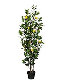 Sitruunapuu ruukussa / Koristepuu, 150 cm