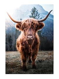 Bild, Highlandrind
