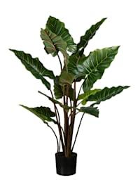 Taropflanze