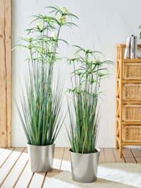 Papyruspflanze im Topf