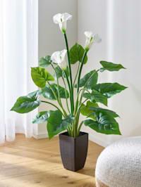 Callapflanze im Topf