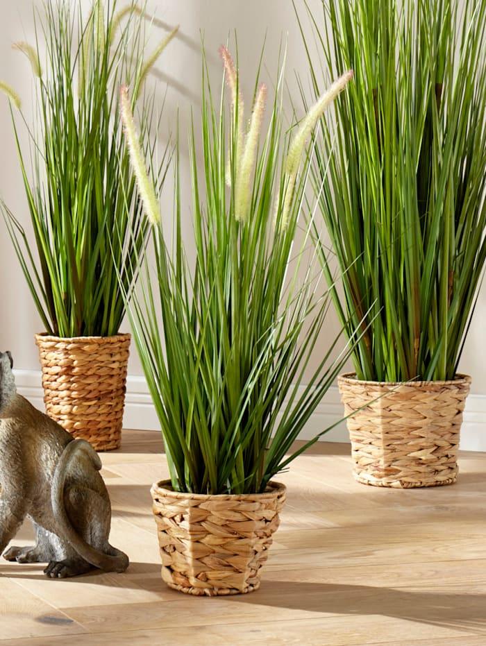 Vulpins dans pot de jacinthes d'eau, Vert