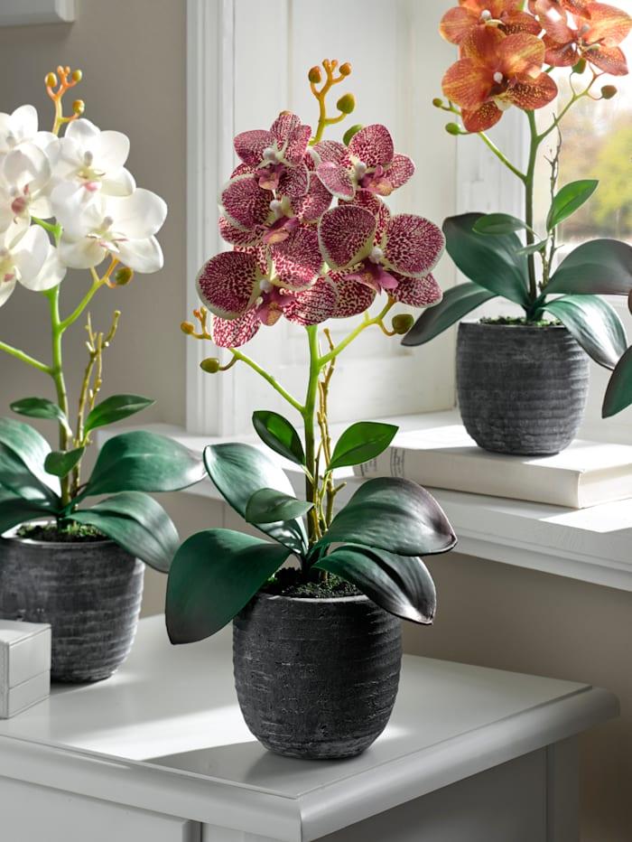 Orchidee im Topf, fuchsia