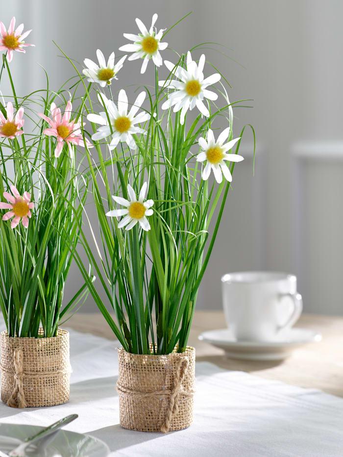 Marguerites, Blanc