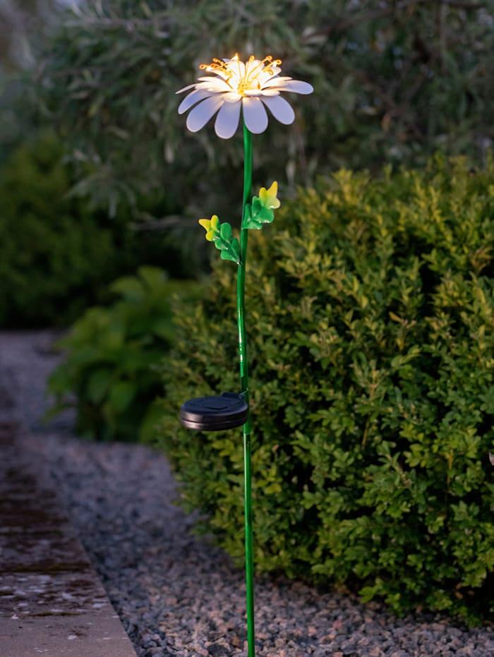 Star Ledsolarprikker, Madeliefje, multicolor