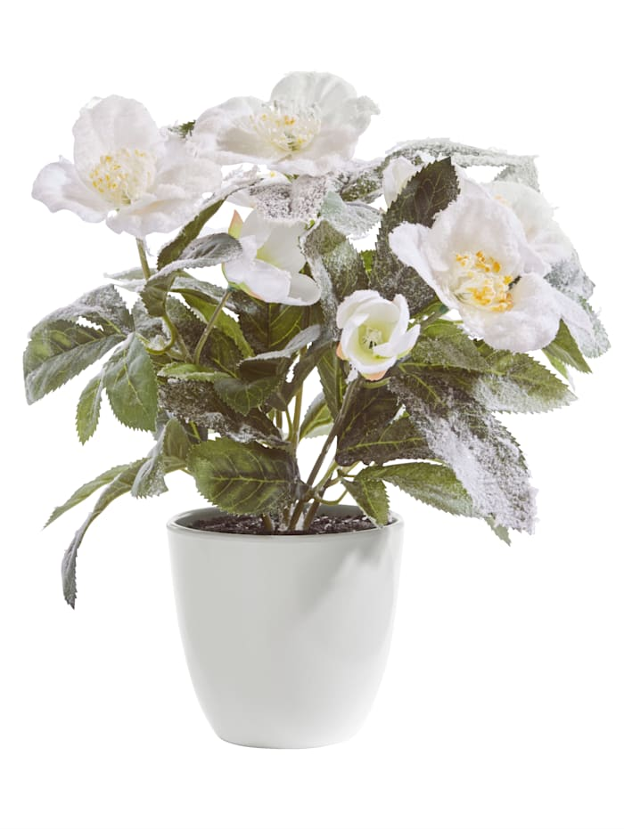 Vaaleajouluruusu ruukussa / Tekokukka, Valkoinen