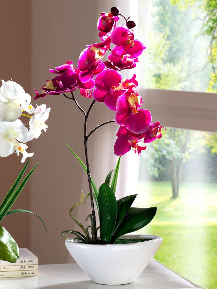 Phalaenopsis - prydnadsorkidé, Fuchsia