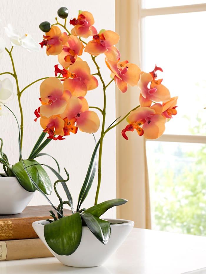 Phalaenopsis, Oranje