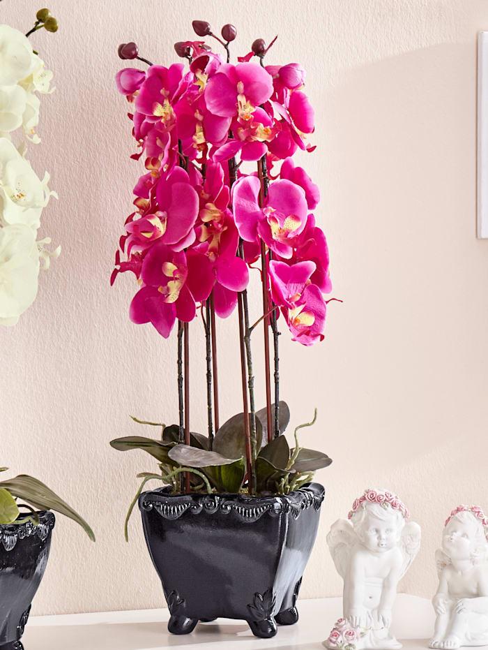 Phalaenopsis, Fuchsia