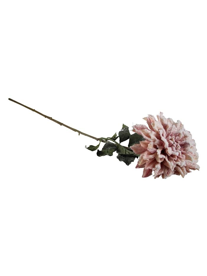 AM Design Dahlie, beschneit, Rosé