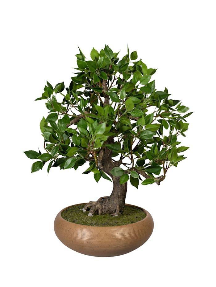 Bonsai Ficus in Schale